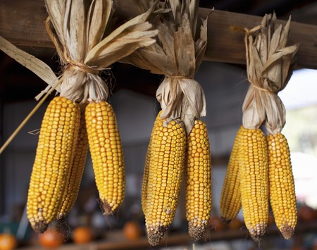 drying corn cobs: Corn cobs hung to dry