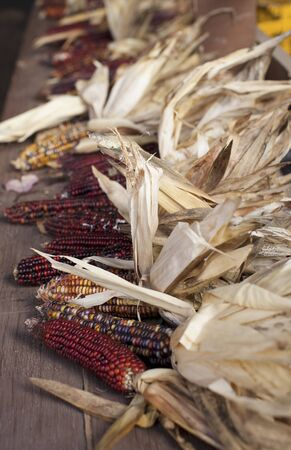 drying corn cobs: Colourful sweetcorn LANG_EVOIMAGES