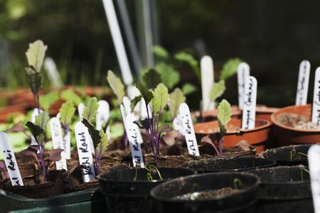 kohl: Kohlrabi plants in germination pots LANG_EVOIMAGES