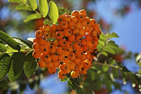 sorbus aucuparia: Rowan berries (sorbus aucuparia) on a tree
