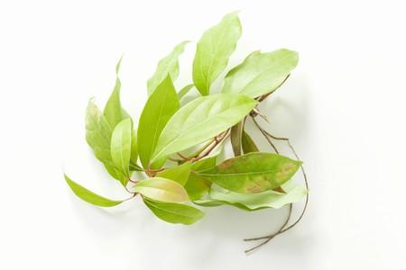 cinnamomum: A sprig of camphorwood (cinnamomum camphora) LANG_EVOIMAGES