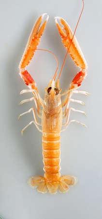 norvegicus: A Norway lobster viewed from above