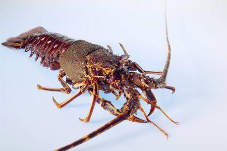 langouste: A fresh lobster LANG_EVOIMAGES