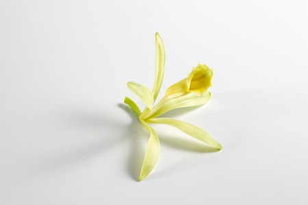 knock out: Vanilla blossom