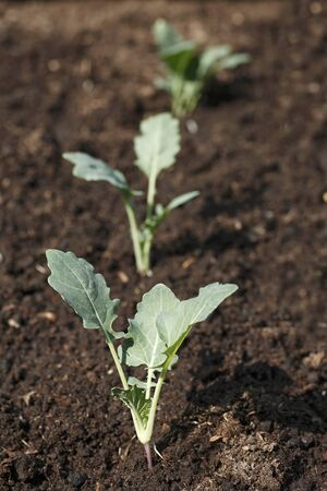 plantlet: Small kohlrabi plants in a vegetable patch LANG_EVOIMAGES