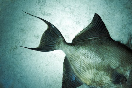 triggerfish: Whole Triggerfish from the Gulf of Mexico