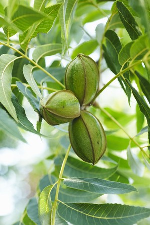 pecans: Pecans Growing on the TRee