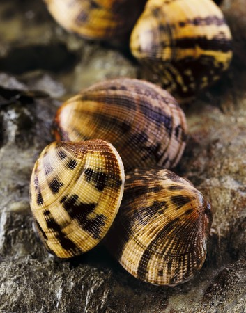 pullet: Carpet shell clams on a rock