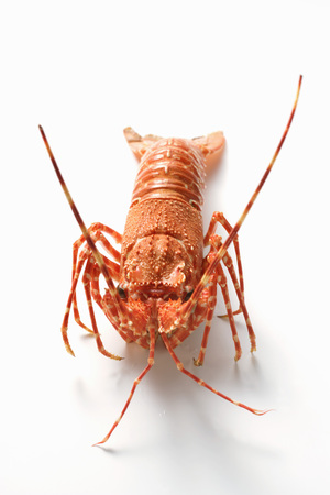 langouste: Spiny lobster from the front