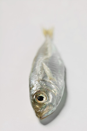 anchovy: Small anchovy LANG_EVOIMAGES