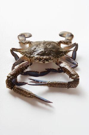 blue crab: Blue crab