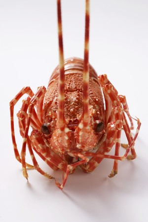 noone: Spiny lobster from the front