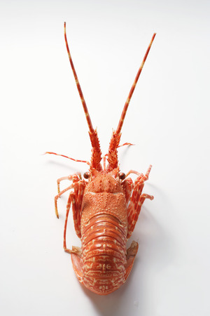 spiny lobster: Spiny lobster from behind