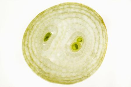 backlit: Slice of onion, backlit LANG_EVOIMAGES