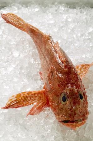 stingfish: Scorpion fish on ice