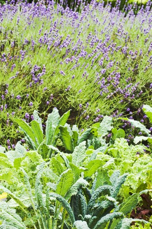lavandula angustifolia: Vegetable plants and flowering lavender in a garden