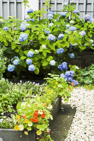 path cottage garden: A bed of herbs with a gravel border in front of a flowering hydrangea