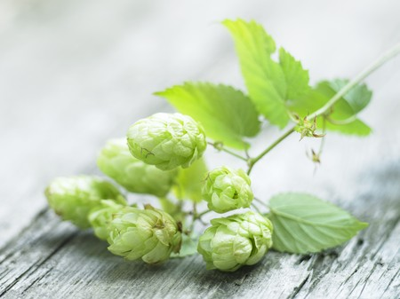hop cone: A sprig of hops on a wooden surface LANG_EVOIMAGES