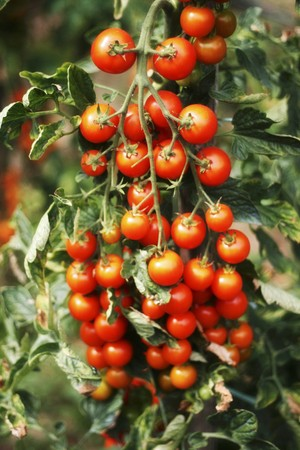 alfresco: A tomato plant in the garden LANG_EVOIMAGES