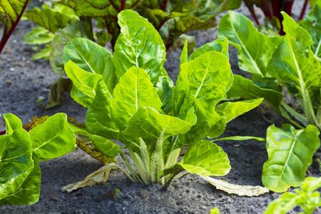 plantlet: Young chard plants in a field
