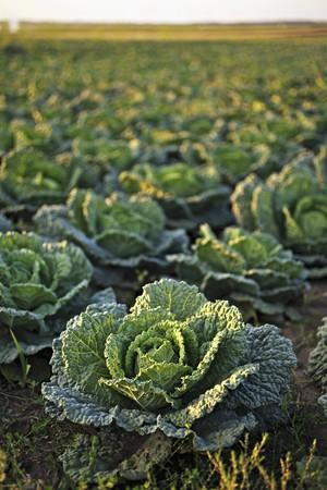 savoy cabbage: Savoy cabbage field