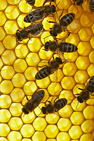honey comb: Bees on a honey comb