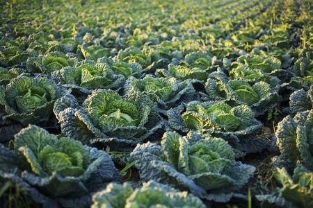 savoy cabbage: Al arge field of Savoy cabbage