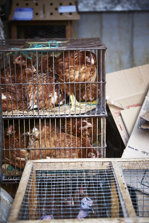 brownness: Hens in small cages LANG_EVOIMAGES