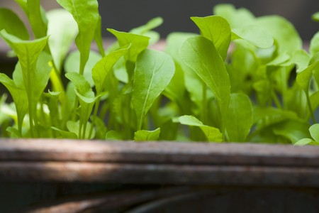 arugola: A close-up of young rocket plants in a container LANG_EVOIMAGES