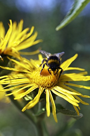 arnica: A bee on an arnica flower