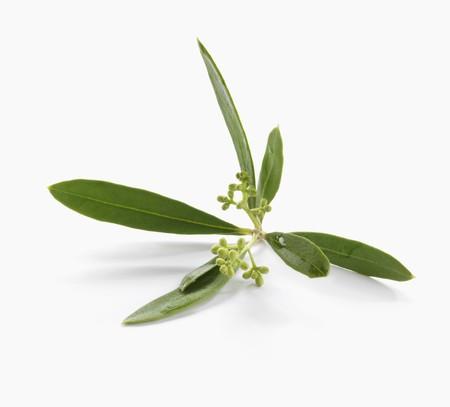 foglie ulivo: Foglie di ulivo LANG_EVOIMAGES