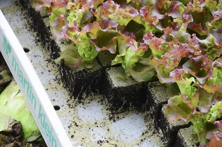 plantlet: Lollo Rosso salad seedlings in a crate LANG_EVOIMAGES