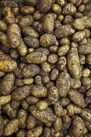 harvested: Freshly harvested Ditta potatoes, full frame