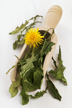 wooden scoop: Whole, dried dandelion leaves in a wooden scoop for making dandelion tea