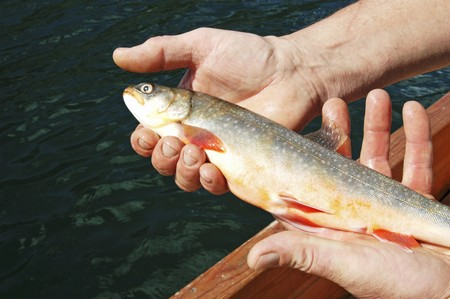 arctic waters: Fresh char from Lake Grundlsee (Austria)