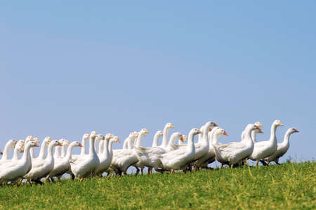 farmyards: Free range geese on a mountain farm in Upper Austria LANG_EVOIMAGES
