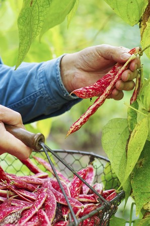 provenance: A man harvesting borlotti beans in a garden with a wire basket
