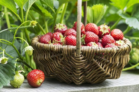 willow fruit basket: A small wicker basket of freshly harvested strawberries in a garden LANG_EVOIMAGES