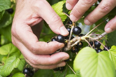 A mans hand picking blackcurrants from a bush