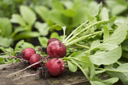 alfresco: Freshly harvested radishes on the edge of a raised bed LANG_EVOIMAGES
