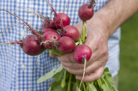 provenance: A man holding a bunch of freshly harvested radishes