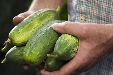 provenance: A man in a garden holding freshly harvested pickling cucumbers