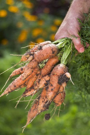 provenance: A man in a garden holding a bunch of freshly harvested carrots