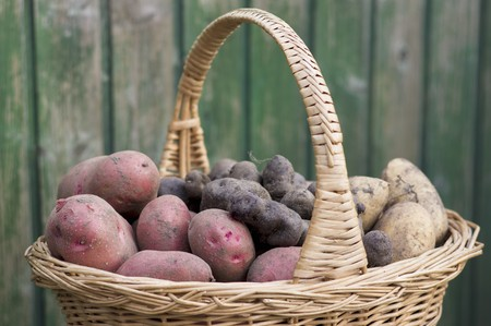 tuberous: Red Rosara potatoes, yellow Solist potatoes and truffle potatoes in a harvesting basket in a garden LANG_EVOIMAGES