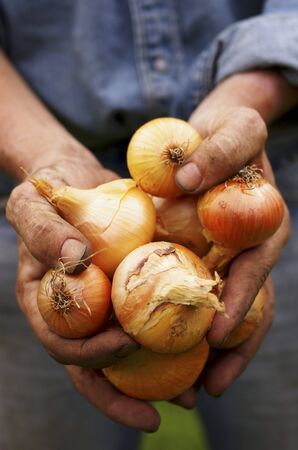 allium cepa: A man with dirty hands holding freshly harvested onions (Allium cepa)