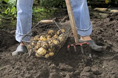 tuberous: Freshly dug potatoes in garden