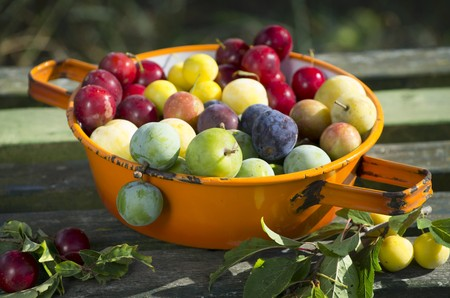prunus cerasifera: Various different types of plums in an enamel sieve on a wooden surface LANG_EVOIMAGES