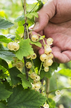provenance: A man picking whitecurrants from a bush
