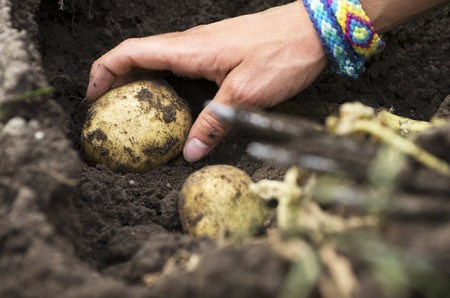 provenance: Potatoes being harvested (a hand picking a potato from the ground) LANG_EVOIMAGES