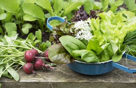 A spring harvest from a raised bed featuring radishes, lettuce and herbs LANG_EVOIMAGES